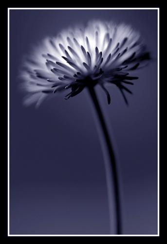 daisy by PeeCee