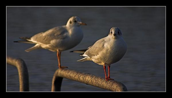 Gulls by jimbocarroll