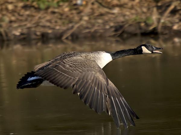 Canada Goose - Branta Canadensis by glsammy