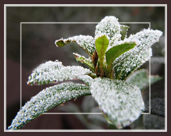 Frosty Azalea by Sylviwhalley