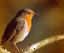 Just a little Robin
