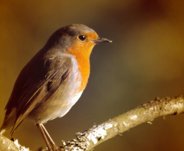 Just a little Robin by brayzo