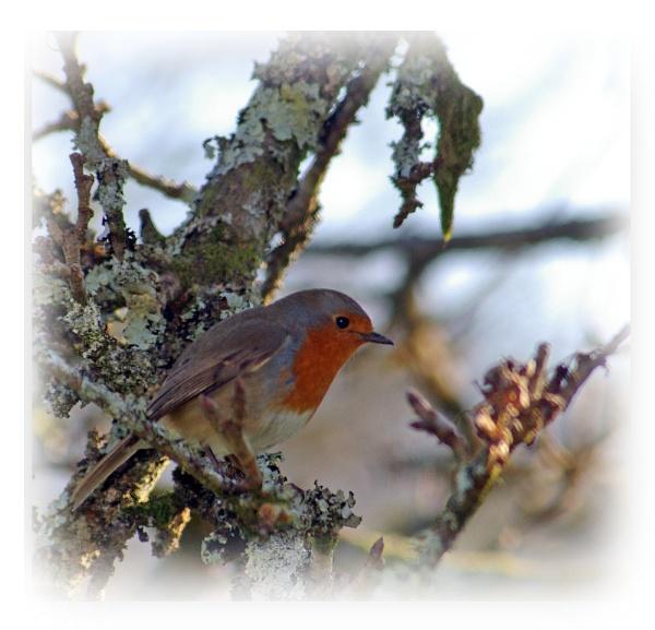 Robin by brayzo