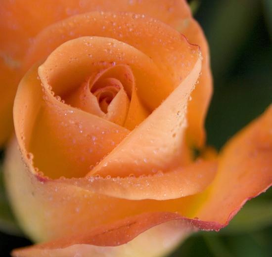 Sunday morning rose by DeirdreH