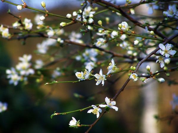 Plum Flowers by WilliamRoar