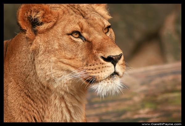 Lioness by gareth01422