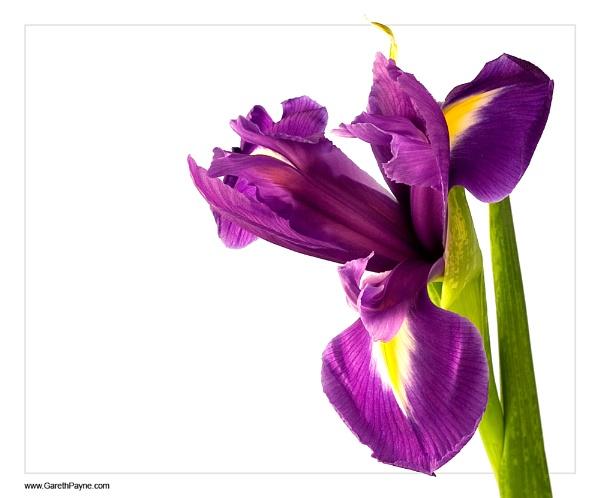 Iris by gareth01422