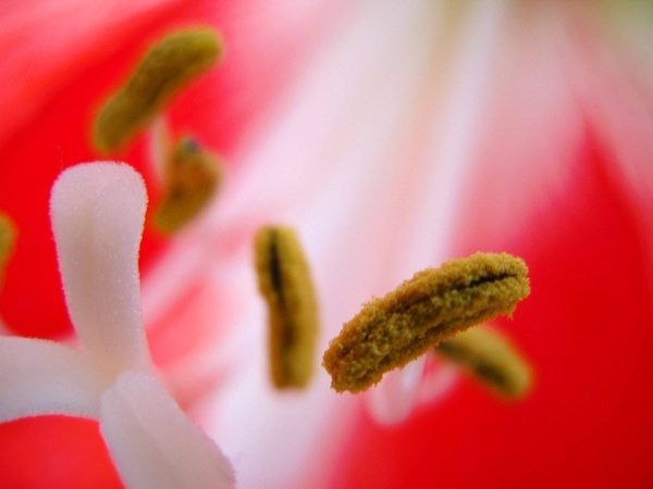 Amaryllis by depthimages