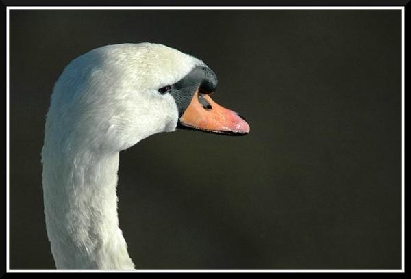 Swan. by Scaramanga