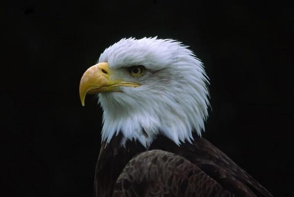 eagle by xstevex