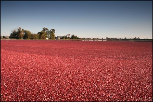 fields of berries by canadamon