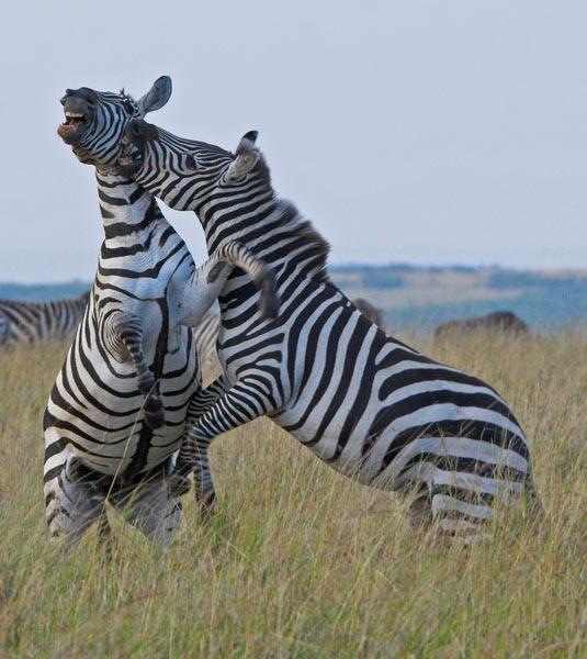 Zebra Fighting 2 by garysphotos