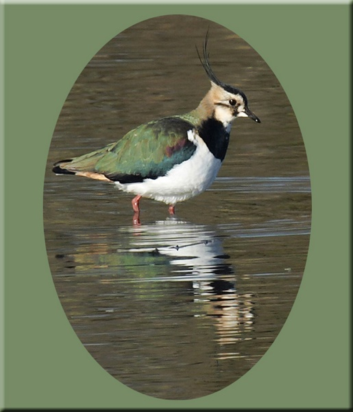 lapwing by Misty56