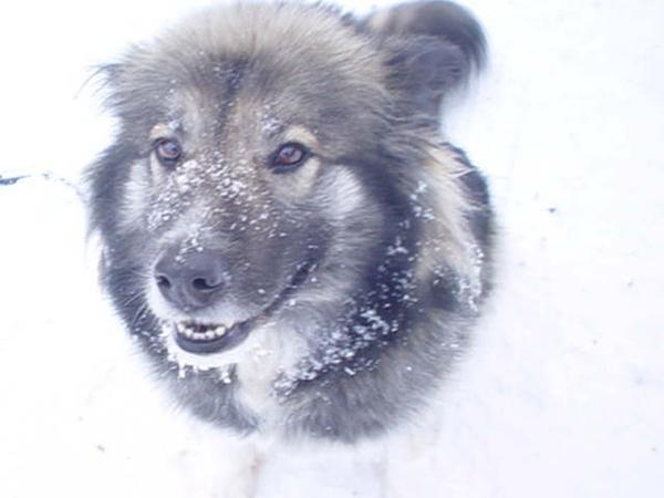 Husky-wolf in her glory by dejavoo101