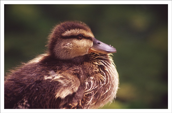 Duckling. by rontear
