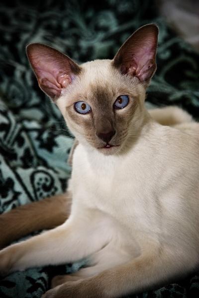 siamese kitten by tigs