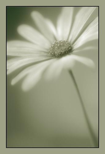 A gentler osteospermum by PeeCee