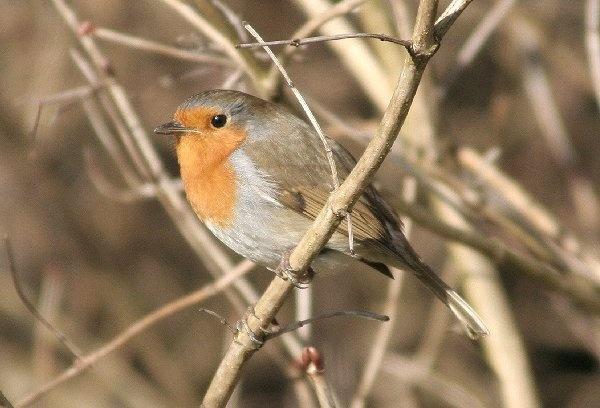 Robin by Sadle
