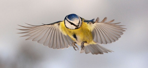 Flying blue tit by Gazzten