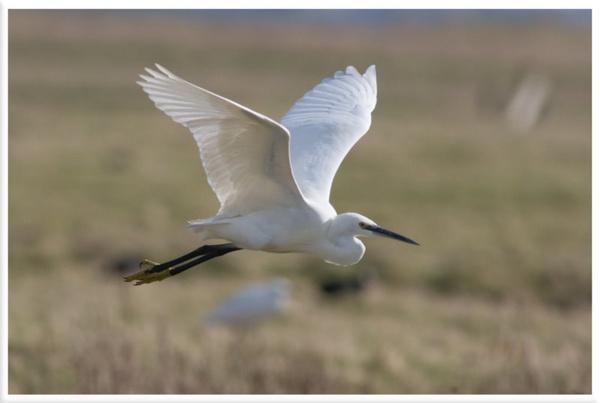 Little Egret by Magpiemick