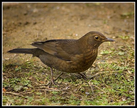 female blackbird by epoxy