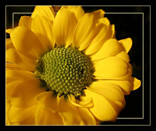 Yellow Chrysanthemum by Sylviwhalley