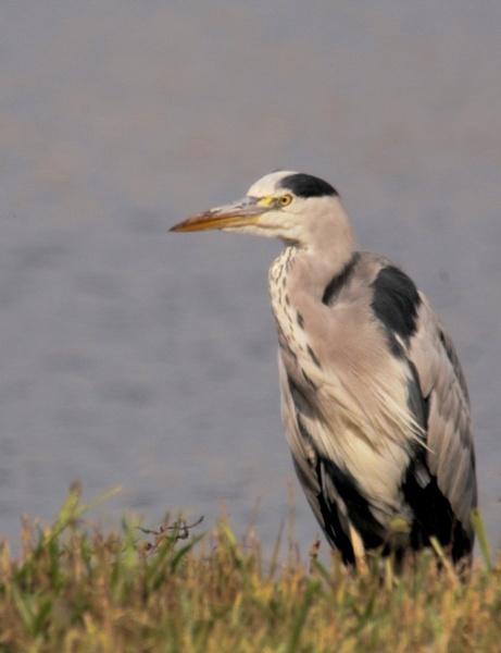 Heron by briberyb