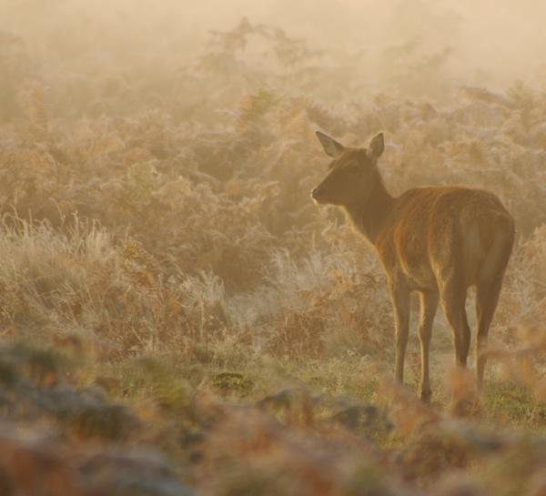 Deer in Dawn Mist by Trogdor