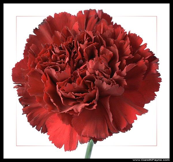 Carnation by gareth01422