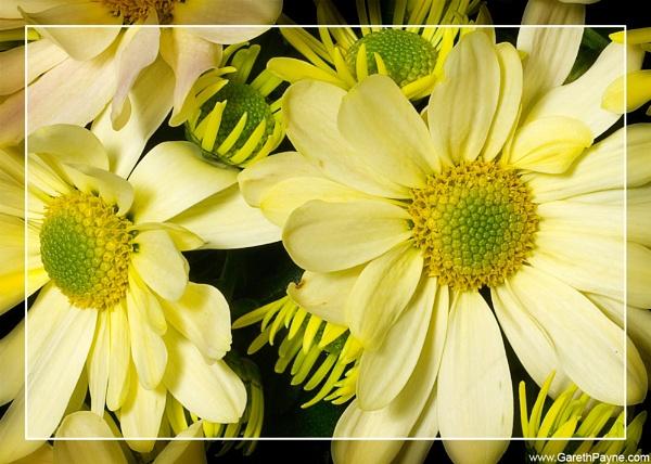Chrysanthemum by gareth01422