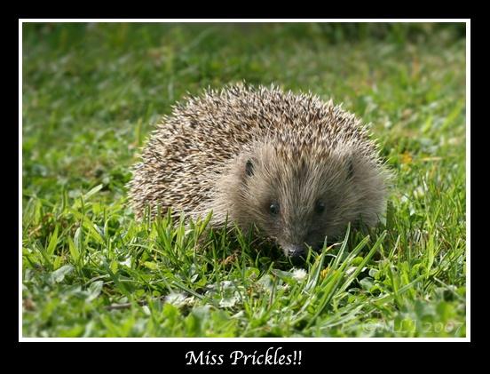 Miss Prickles by mialewis