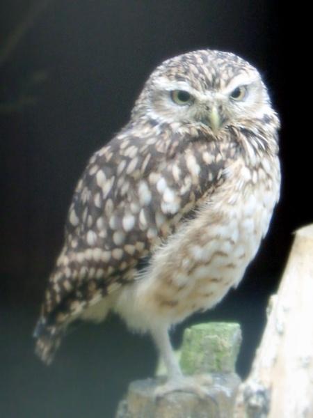 Little Owl by bugman293371