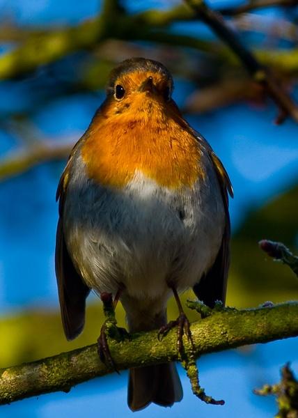 Winter Robin by Kruger01