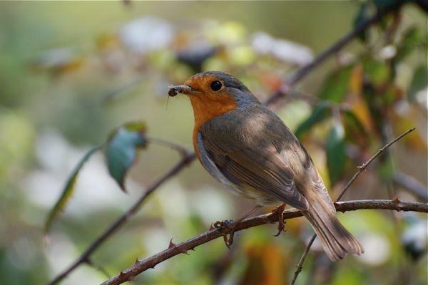 Robin by anpix
