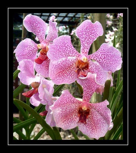 polka dot orchid by yelnats