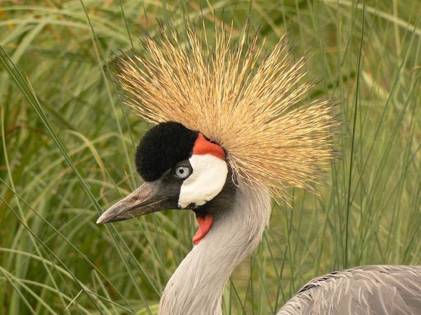 Watled Crane by roymag