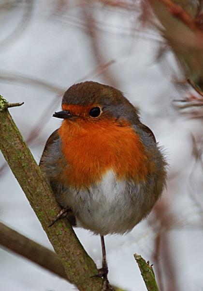 robin by ducatifogarty