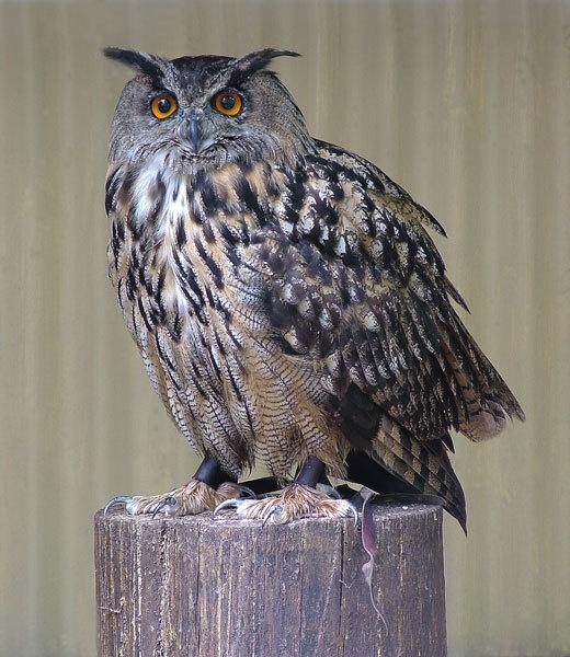 eagle owl by ducatifogarty