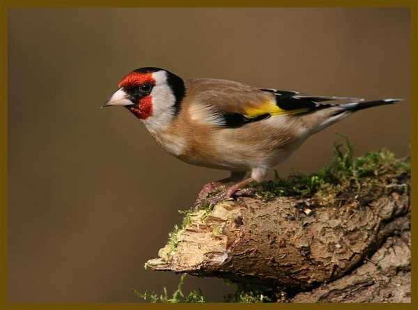 gold finch by Tom-Melton