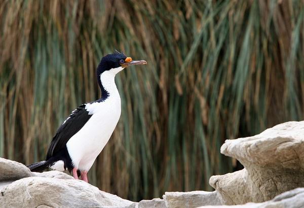 King Cormorant by matt adams