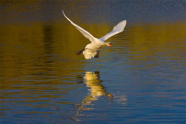 swan 2 by teddy