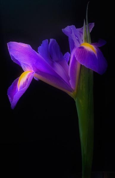 Iris by Dave_Henderson