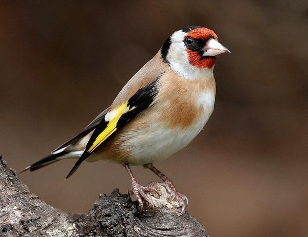 Goldfinch by StevenPrice