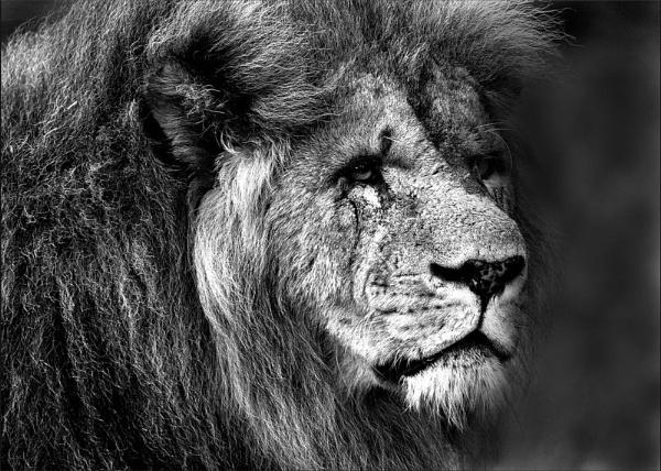 Lion by DaveHaigh