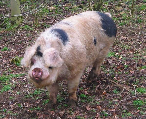 Gloucester Old Spot Pig by Glostopcat