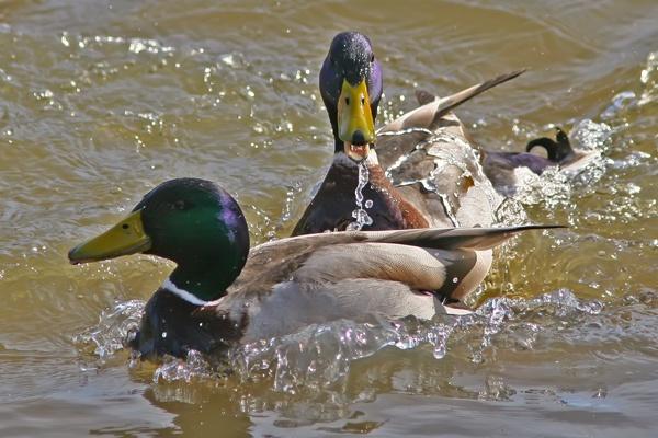 Mallard Ducks by Randle