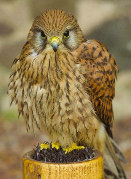 Little Bird of Prey by yasika