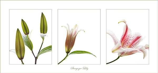 Lily by PLCimagery