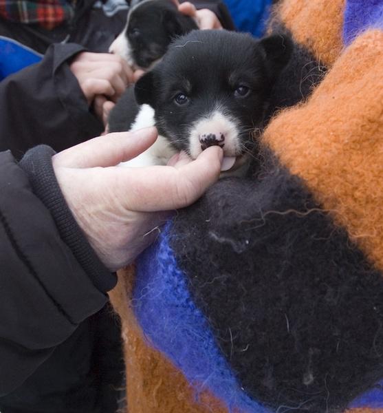 husky puppies by japa