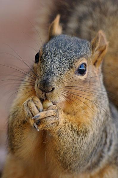 Squirrel by kasv